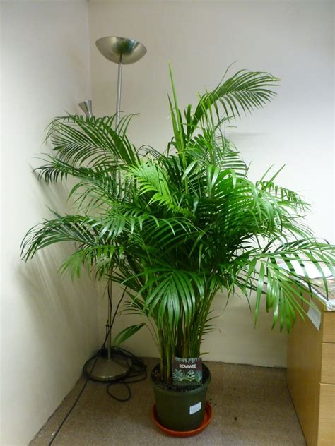 potting indoor plants areca palm quot chrysalidocarpus lutescens quot potted plant
