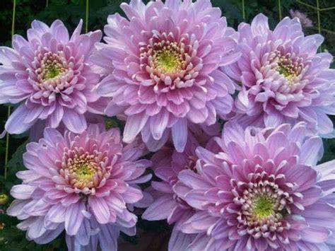 Pupuk Untuk Bunga Krisan budidaya tanaman krisan bibit