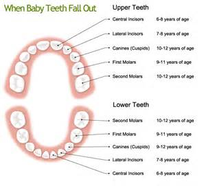 ages when baby teeth come in and fall out baby region of peel dental website caring for your child