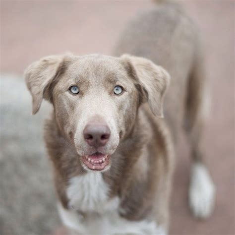 weimaraner mix puppies husky weimaraner mix huskies malamutes best breeds