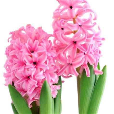 fiori con bulbo fiori con bulbo giacinto taglio stelo sfiorito