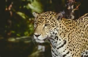 Jaguars In Belize Protecting Jaguars Of Belize Southton Connects Alumni