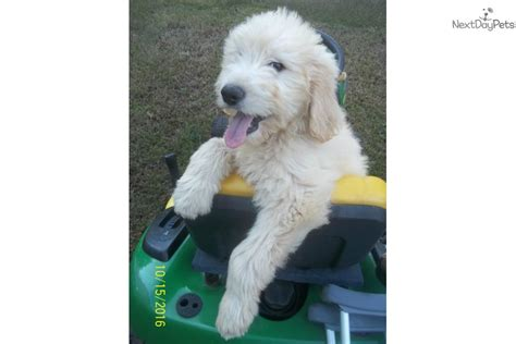 goldendoodle puppy prices puppy 1 goldendoodle puppy for sale near greensboro