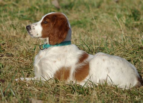 setter dogs pictures irish red and white setter everything best dogs