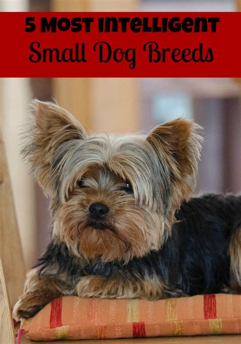 small house dog breeds 5 most intelligent small dog breeds dogvills