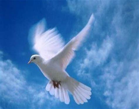 imagenes de palomas blancas gratis palomas blancas fotos imagui
