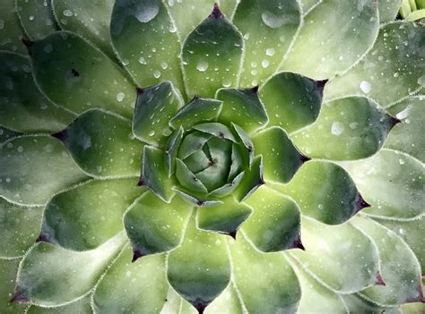 singapore succulent plant  photo  pixabay