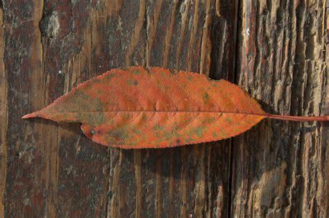 kirschlorbeer braune blätter winter rhododendron braune bl 228 tter rhododendron braune bl tter