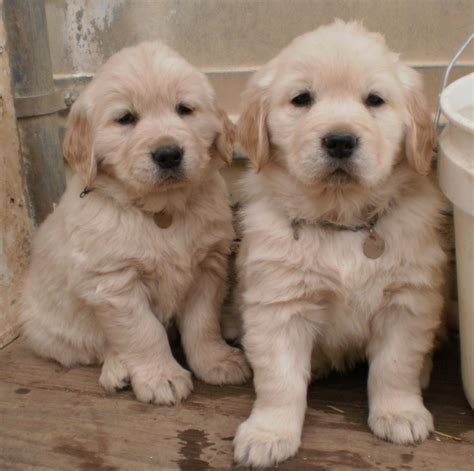 golden retriever breeders in colorado goldens