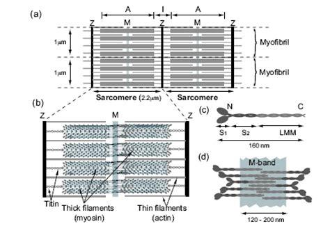 the diagram illustrates a small portion of several myofibrils size ppt slide pdf