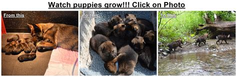 german shepherd puppies adoption ma german shepherd puppy massachusetts merry photo