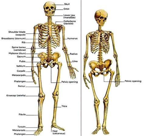 difference between and skeleton diagram question that contains assumptions can science tell us