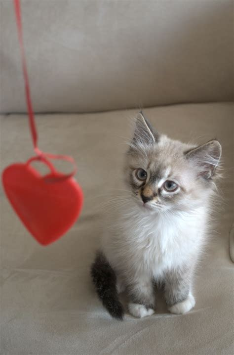 cat valentines sweet valentines cats and animals