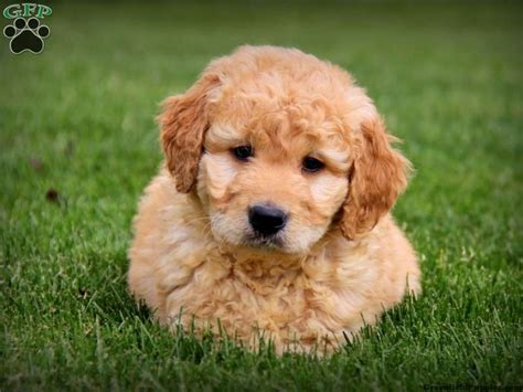 goldendoodle puppy buddy mini goldendoodle puppy for sale from gordonville