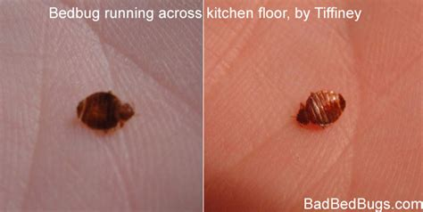 Is It Possible To Only One Bed Bug by Is It Possible To Only One Bed Bug 28 Images Bug Id