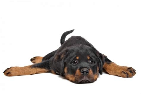 rottweiler puppies in rottweiler puppies guide to puppies