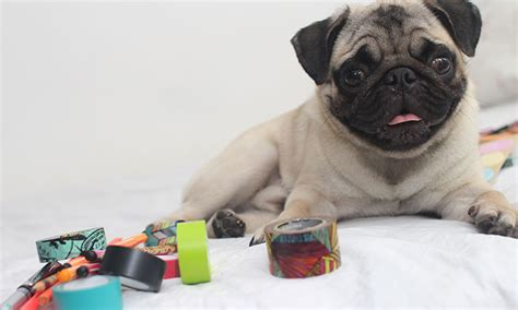 pugs favorite toys pug at play what are the best toys for pugs