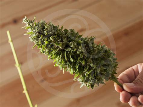 coltivare marijuana vaso le basi per la coltivazione di marijuana indoor