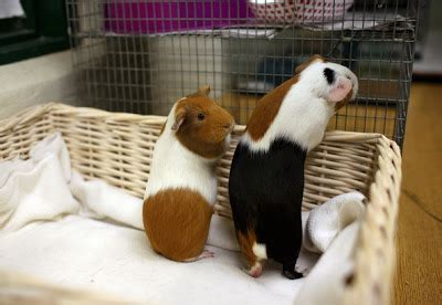 Room Temperature For Guinea Pigs by Petsjubilee