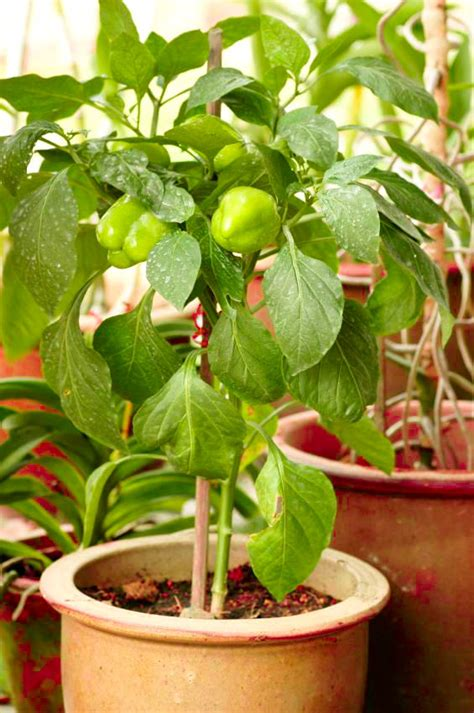 container gardening peppers growing bell peppers in pots how to grow bell peppers in