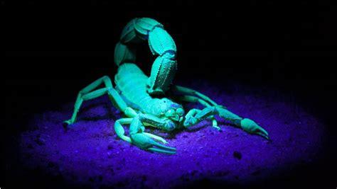 scorpioni in casa scorpioni australiani tanti ma innocui portale australia