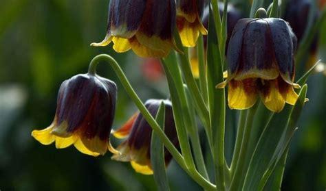 fiori con bulbo fiori da bulbo bulbi fiori da bulbo caratteristiche