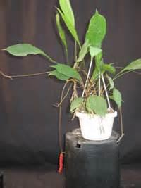anthurium gracilis red pearls anthurium