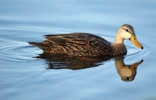duckling image duck the animals kingdom