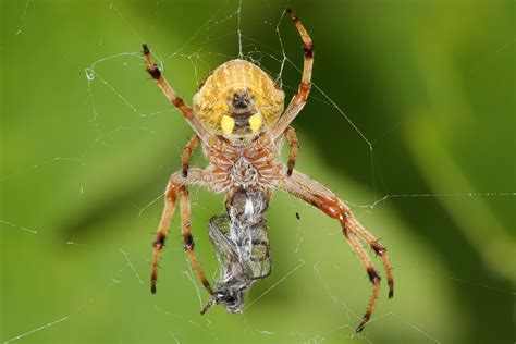 Garden Spider Uk Wiki What Of Spider Is This And Is It Dangerous Yahoo