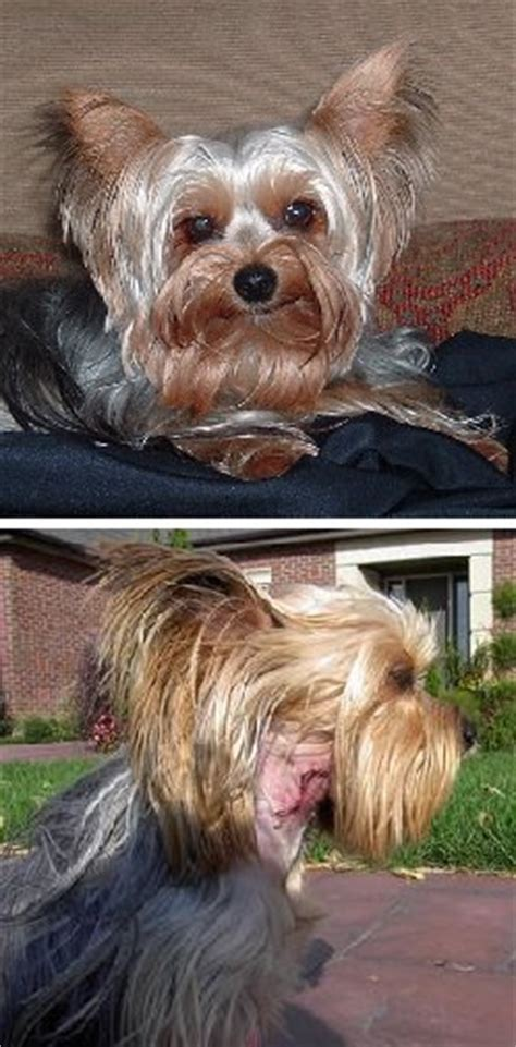 overweight yorkie dogs with collapsing trachea help