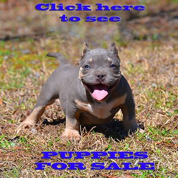 blue bully pitbull puppies for sale ultimate blue pitbulls pitbull puppies for sale american bully ga