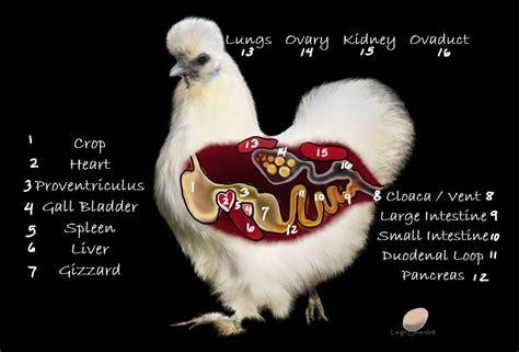 how do chickens mate diagram chicken keeping chickens eggs fertilization