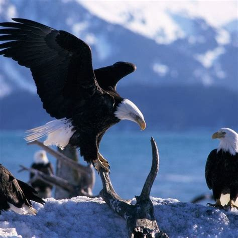 eagle swing eagle bird fly swing predators tap to see more cute