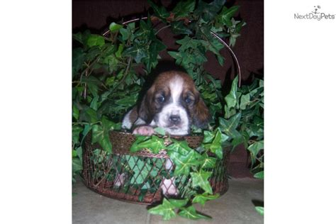basset hound puppies houston basset hound puppy for sale near houston 2bf00b34 4221
