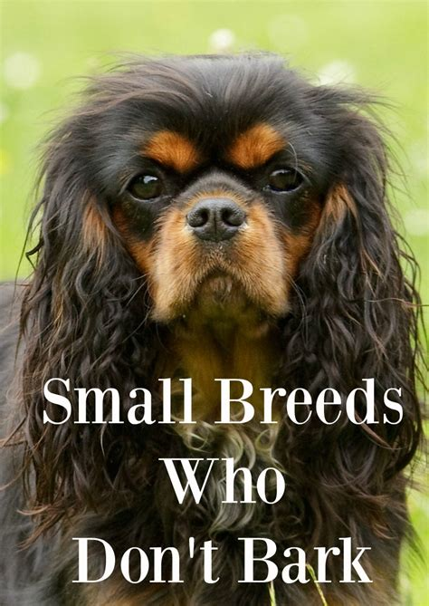 dogs that dont bark much small dogs the dogs that dont bark much breeds picture