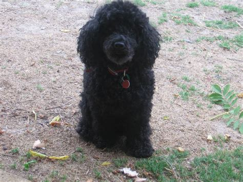 different styles of hair cuts for poodles standard poodle haircut styles hairs picture gallery