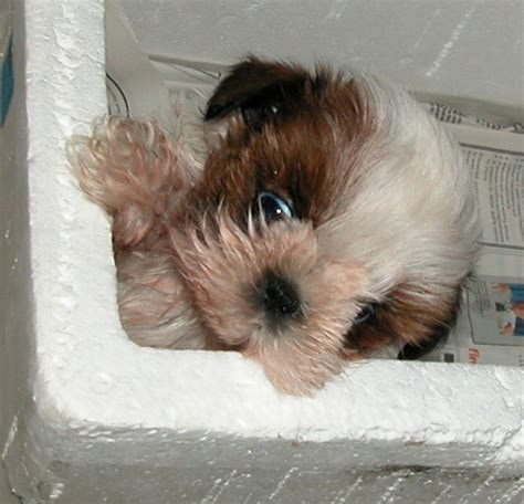 shih tzu bloody stool 0819asingapore veterinary bloody diarrhoea puppy vomiting education stories published