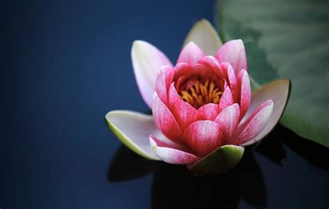 lotus flower color meaning lotus flower meaning symbolism and colors