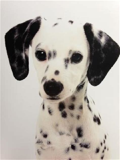 dalmatian puppies for sale in ga miniature dalmatian for adoption breeds picture