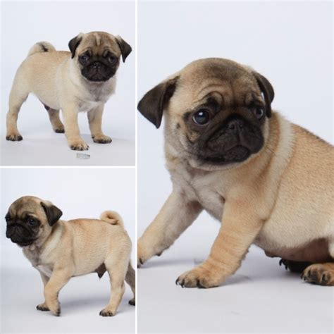 pugs for sale in lancashire chion sired pugs for sale reduced lancashire pets4homes