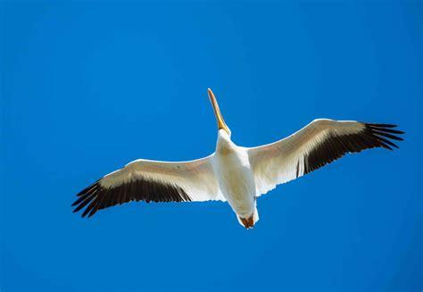 pelican point boat launch fish creek park archives birds calgary