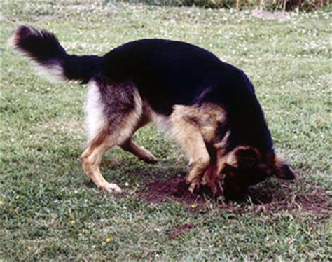 how do you stop a from digging how to teach dogs not to bark how do you stop a from digging in the carpet