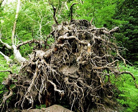 of tree file uprooted tree 001 jpg wikimedia commons