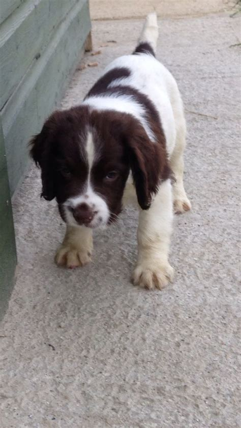 field springer spaniel puppies for sale springer spaniel pups for sale dogs puppies for sale with breeds picture