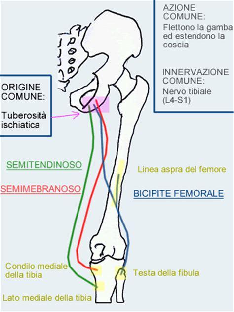 linfonodi interno coscia strappo e stiramento dei muscoli ischiocrurali