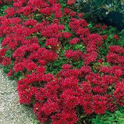 Can Deer See Red Light Sedum Summer Glory Seeds Sedum Spurium Stonecrop Ground
