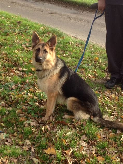 german shepherds for sale german shepherd for sale wymondham norfolk pets4homes