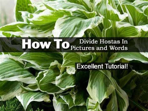 17 best images about gardening hosta on pinterest