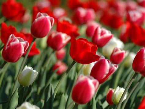 flores rojas wallpaper bunga tabloidmaya