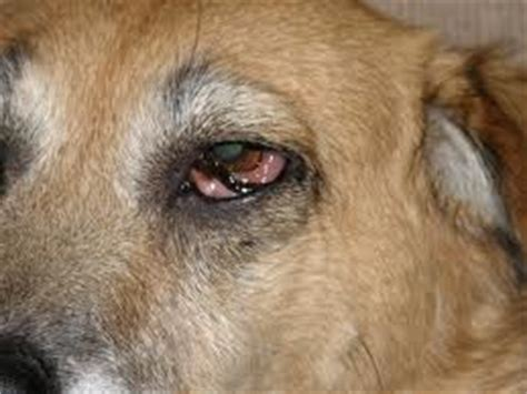 eye diseases in dogs parts book covers